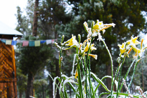 Shoshoni Tulips